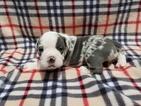 Olde English Bulldogge Puppy For Sale in GLASCO, NY, USA