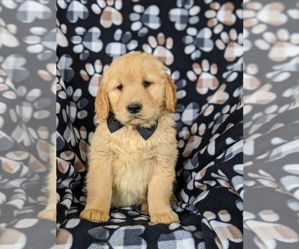 Medium Photo #1 Golden Retriever Puppy For Sale in OXFORD, PA, USA