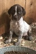 German Shorthaired Pointer Puppy For Sale in BLOOMFIELD, IN,