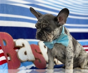 French Bulldog Puppy for sale in BIRD IN HAND, PA, USA