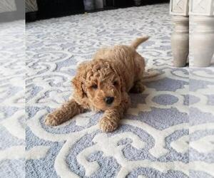 Goldendoodle Puppy for Sale in FREDERICKSBURG, Virginia USA