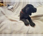 Small #3 Great Dane