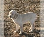 Labrador Retriever Puppy For Sale in LOUISBURG, MN, USA
