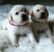 Labrador Retriever Puppy For Sale in ATMORE, AL, USA