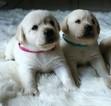 Labrador Retriever Puppy For Sale in ATMORE, Alabama,
