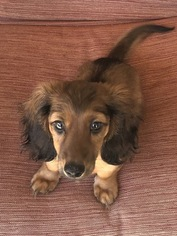 Dachshund Puppy For Sale in LINDALE, TX, USA