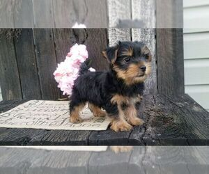 Yorkshire Terrier Puppy for Sale in BALTIC, Ohio USA