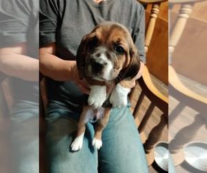 Bagle Hound-Basset Hound Mix Puppy for sale in CENTRALIA, WA, USA