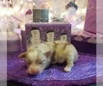Image preview for Ad Listing. Nickname: Mini Aussie pup