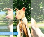 Puppy 4 American Pit Bull Terrier