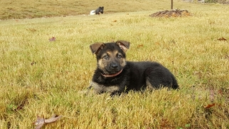 German Shepherd Dog Puppy For Sale in MIDDLETON, TN, USA