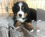 Puppy 6 Bernese Mountain Dog
