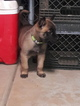 Belgian Malinois Puppy For Sale near 94591, Vallejo, CA, USA