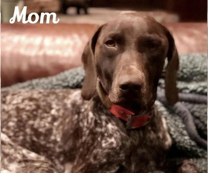Mother of the German Shorthaired Pointer puppies born on 06/27/2019