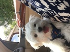 Maltese Puppy For Sale in INDIANAPOLIS, IN