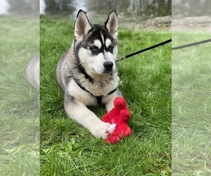 Siberian Husky Puppy for Sale in KELSO, Washington USA