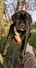 Cane Corso Puppy For Sale in BEAR, DE, USA