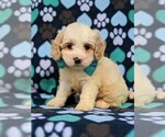 Small #1 Cavachon-Poodle (Toy) Mix