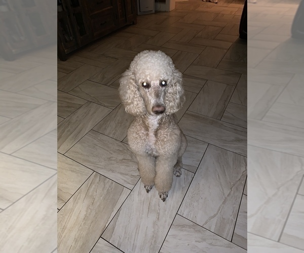 Medium Photo #13 Poodle (Standard) Puppy For Sale in TAMPA, FL, USA