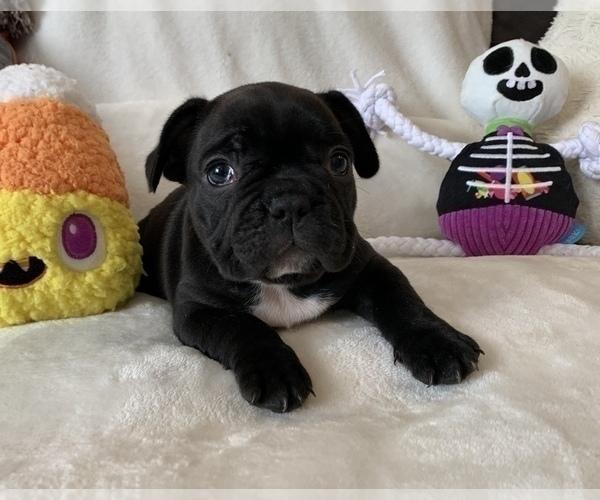 Medium Photo #10 French Bulldog Puppy For Sale in JOHNS ISLAND, SC, USA