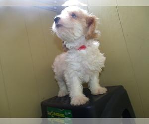 Bichon Frise-Cavachon Mix Puppy for sale in PATERSON, NJ, USA