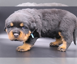 Rottweiler Puppy for Sale in FONTANA, California USA