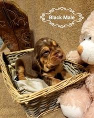 Bloodhound Puppy for sale in WARRIOR, AL, USA