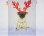 Small Photo #2 Pug Puppy For Sale in NEW RIVER, AZ, USA