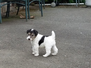 Wire Fox Terrier Puppy For Sale in RENTON, WA