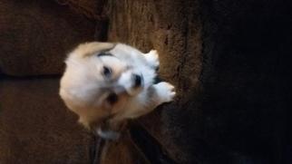 Pembroke Welsh Corgi Puppy For Sale in EDNA, KS