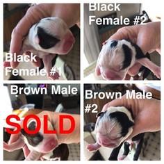 Boston Terrier Puppy For Sale in REYNOLDS, IN