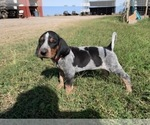 Puppy 8 Bluetick Coonhound