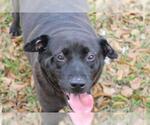 Small #36 Labrador Retriever
