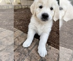 Small #16 English Cream Golden Retriever