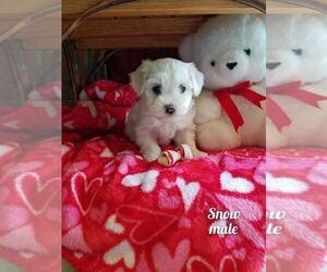 Havanese Puppy for Sale in WICKENBURG, Arizona USA