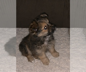 Yoranian Puppy for sale in GRIFFITH, IN, USA