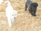 Labrador Retriever Puppy For Sale in SANTA FE, NM