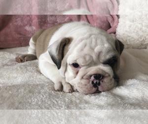 English Bulldog Puppy for Sale in CHARLESTON, South Carolina USA