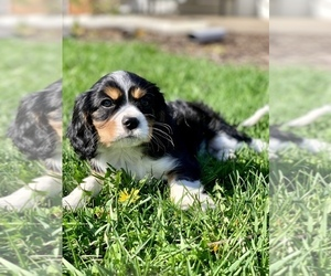 Cavalier King Charles Spaniel Puppy for Sale in ALTO, Michigan USA