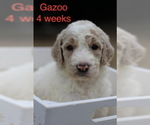 Puppy 6 Goldendoodle-Poodle (Standard) Mix