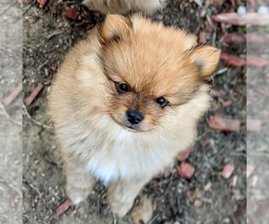 Pomeranian Puppy for sale in SPRING VALLEY, CA, USA