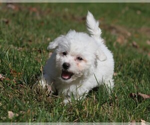 Bichon Frise Puppy for Sale in WOODSTOCK, Connecticut USA
