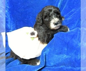 Sheepadoodle Puppy for Sale in GROVESPRING, Missouri USA