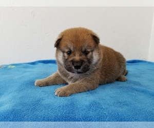 Shiba Inu Puppy for Sale in CLARK, Missouri USA