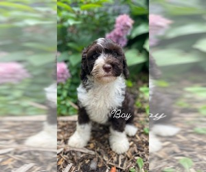 Portuguese Water Dog Puppy for sale in MONCLOVA, OH, USA