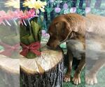 Small #114 Labrador Retriever Mix