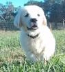 Golden Retriever Puppy For Sale in BISMARCK, AR
