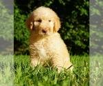 Puppy 2 Labradoodle-Poodle (Standard) Mix
