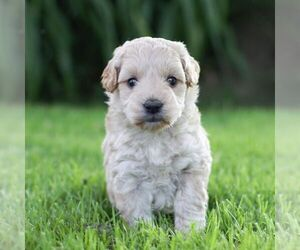 Goldendoodle-Poodle (Miniature) Mix Puppy for sale in COLBY, WI, USA