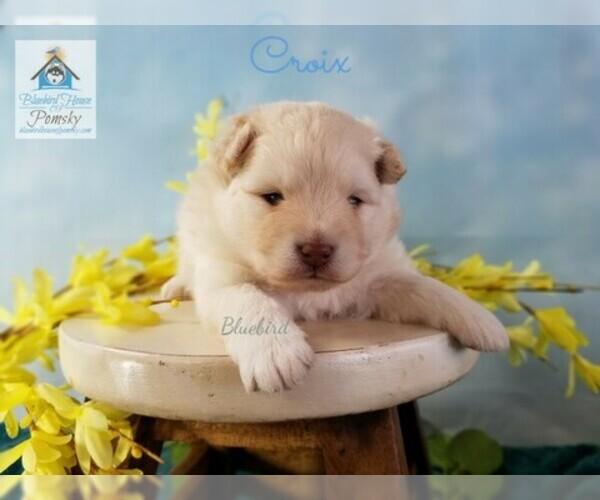 PuppyFinder com - View Ad: Photo #8 of Listing Pomeranian